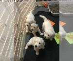 Golden Retriever-puppy's